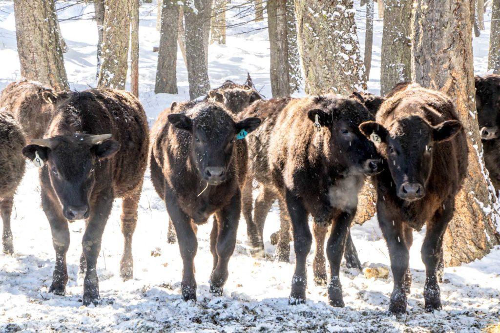 horsemanship-internship-ranching-montana-wagyu-beef-102