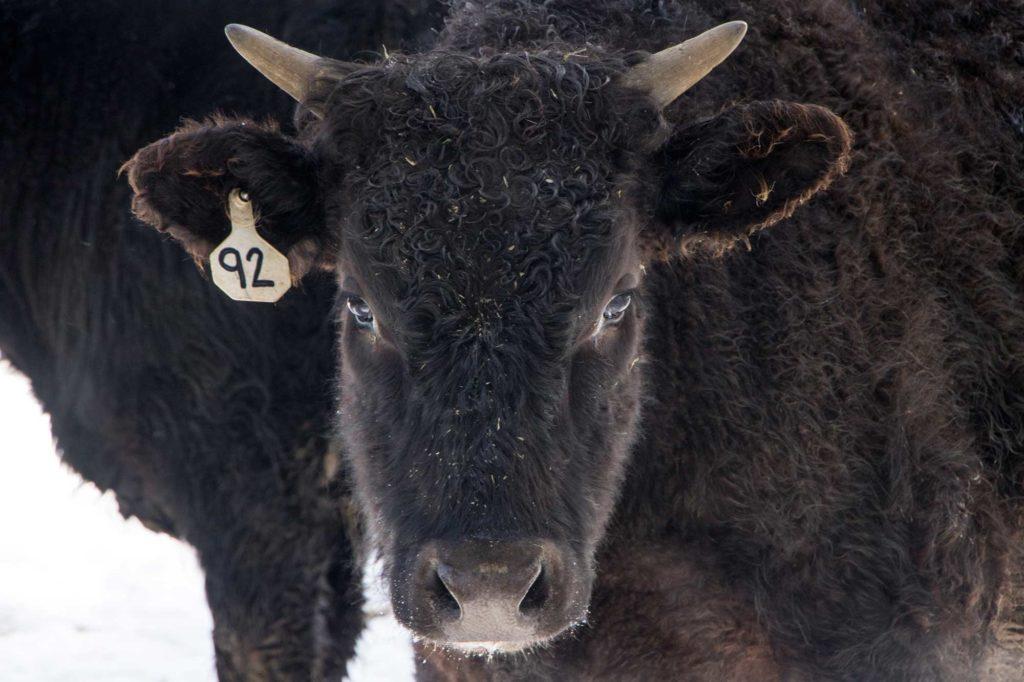horsemanship-internship-ranching-montana-wagyu-beef-105